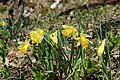 Wild daffodil - Narcissus pseudonarcissus - panoramio (11).jpg