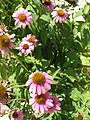 Wildflower P7160086.jpg