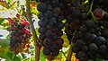 Wine grapes at vineyards above Camara de Lobos (26319372479).jpg