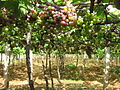 Wineyard at Cumbum, TN.JPG