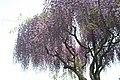 Wisteria floribunda 6zz.jpg