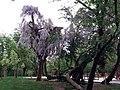 Wisteria in Borisova Gradina, Sofia, Глициния в Борисова градина.jpg