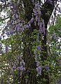 Wisteria on oak.jpg