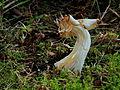 Witte kluifzwam (Helvella Crispa). Locatie, Hortus (Haren, Groningen) 02.JPG