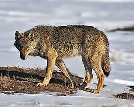 Wolf on alert.jpg