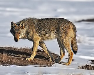 Steppe wolf subspecies of mammal