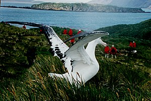 Wildlife of Antarctica - A Wandering albatross (Diomedea exulans) on South Georgia