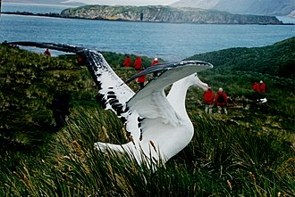 A wandering albatross (Diomedea exulans) on South Georgia Wonder albat.jpg