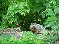 Woodchuck P8070003.jpg