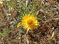 Xerochrysum viscosum flowers and leaves.jpg