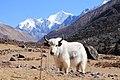 Yak in Langtang Valley.jpg
