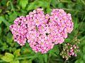 Yarrow (Achillea millefolium), pink variety.jpg