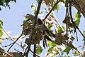 Yellow-billed Cuckoo Santa Gertrudis Lane Tubac AZ 2018-08-06 12-19-19 (43296932744).jpg