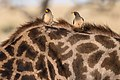 Yellow-billed Oxpeckers resting on Giraffe (28033672330).jpg
