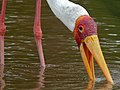 Yellow-billed Stork (Mycteria ibis) (6045860132).jpg