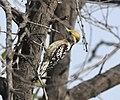 Yellow-crowned Woodpecker AMSM6737 YCWP.jpg