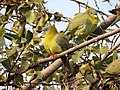 Yellow-footed Green Pigeon Treron phoenicoptera by Dr. Raju Kasambe DSCN2282 (22).jpg