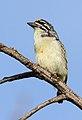 Yellow-fronted tinkerbird, Pogoniulus chrysoconus, at Walter Sisulu National Botanical Garden, South Africa (15384251364).jpg