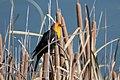 Yellow-headed Blackbird Benson Golf Course AZ 2018-11-19 13-15-15 (46132989011).jpg