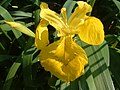 Yellow flag iris.jpg