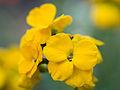 Yellow flowers (14332858204).jpg