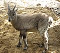 Young Capra Ibex by Line1.jpg