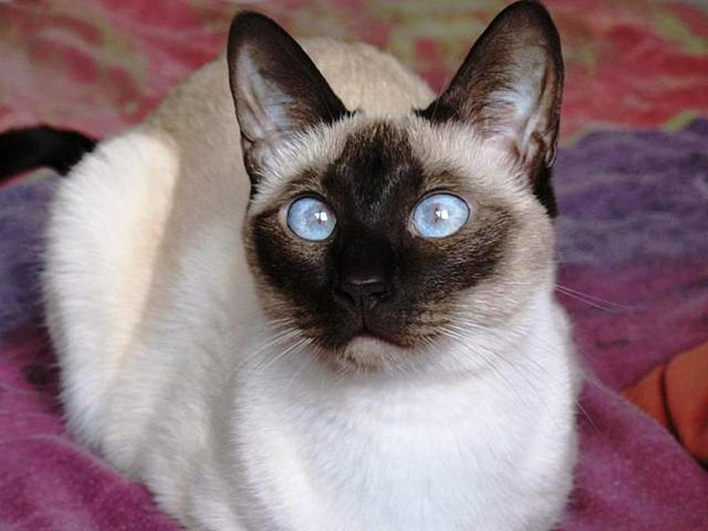 ملف:Young Siamese Seal Point.jpg