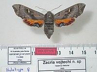 Zacria vojtechi Holotype female upperside (Australia, Lake Berlee) (ANIC).jpg