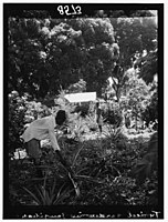 Zanzibar. Garden of pineapples LOC matpc.00402.jpg