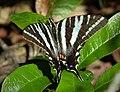 Zebra Swallowtail. Eurytides marcellus (27273178979).jpg