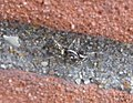 Zebra spider (5739313920).jpg