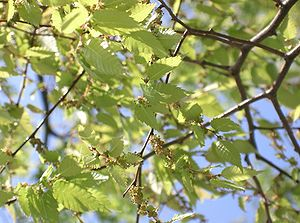 Zelkova serrata - Foliage and flowers in spring
