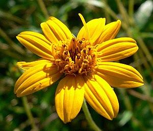 Wedelia - Wedelia hispida