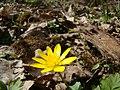 Ziarnopłon wiosenny (Ranunculus ficaria) - panoramio.jpg