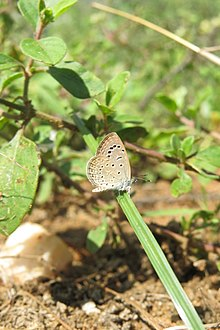 Zizeeria karsandra Moore, 1865 – Dark Grass Blue at Theni.jpg
