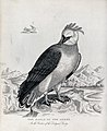 Zoological Society of London; an eagle of the Andes sitting Wellcome V0023124.jpg