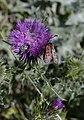 Zygaena-rhadamanthus-Lunel-garri-N-JohnWalsh.jpg