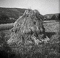 """""""Lonca"""" žita na njivi pri Bečancih 1950.jpg"""