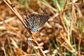 """ 12 - 07 ITALY - Parco Delta del Po' - farfalla - butterfly.jpg"