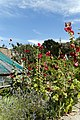 'Alcea rosea' hollyhock in Victorian garden Quex House Birchington Kent England 1.jpg