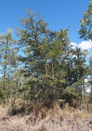 Archidendropsis - Image: 'Archidendropsis basaltica habit