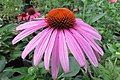 'Prairie Splendor' echinacea IMG 7354.jpg