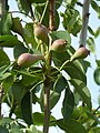 (ALB) P. communis - fruit-5.jpg