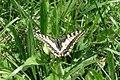 (Continental) Swallowtail (Lermoos) (15496524148).jpg