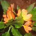 (Crossandra infundibuliformis) fire cracker flower at Kakinada 01.JPG