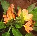 (Crossandra infundibuliformis) fire cracker flower at Kakinada 01.JPG