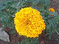 (Tagetes erecta) Marigold flower at Mudasarlova Park.JPG