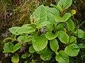 ¿ Aconogonum rumicifolium ? (7851265488).jpg