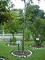 Árbol de Capirona en el Jardín Botánico de Lima.jpg
