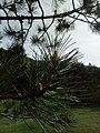 Τα πεύκα στο δάσος Ξηρολιβάδου.jpg